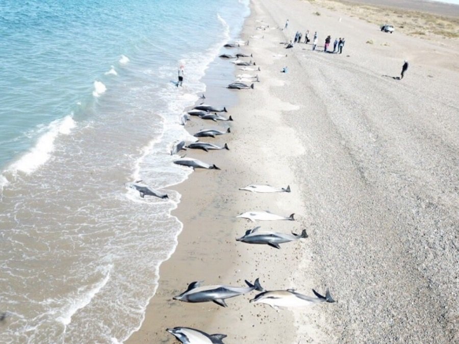 Murieron 49 delfines que encallaron en Puerto Madryn
