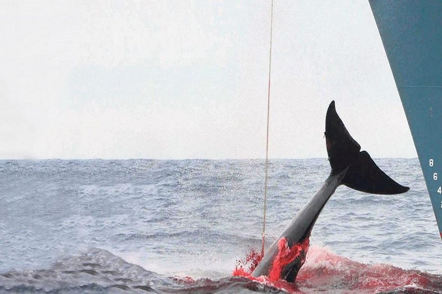 """Japonenses matan """"por motivos científicos"""" mas de 300 ballenas en la Antártida"""