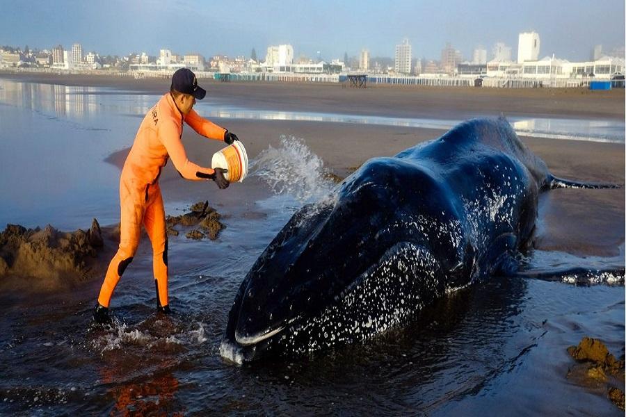 Intentan salvar a una ballena varada en Punta Mogotes
