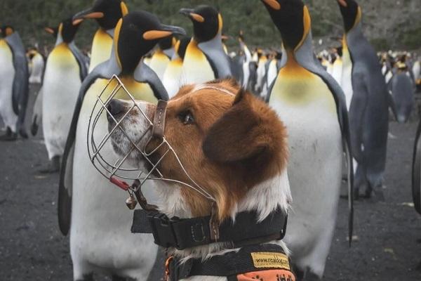 Atlántico Sur: Georgia del Sur la primera isla del mundo que consigue erradicar a las ratas