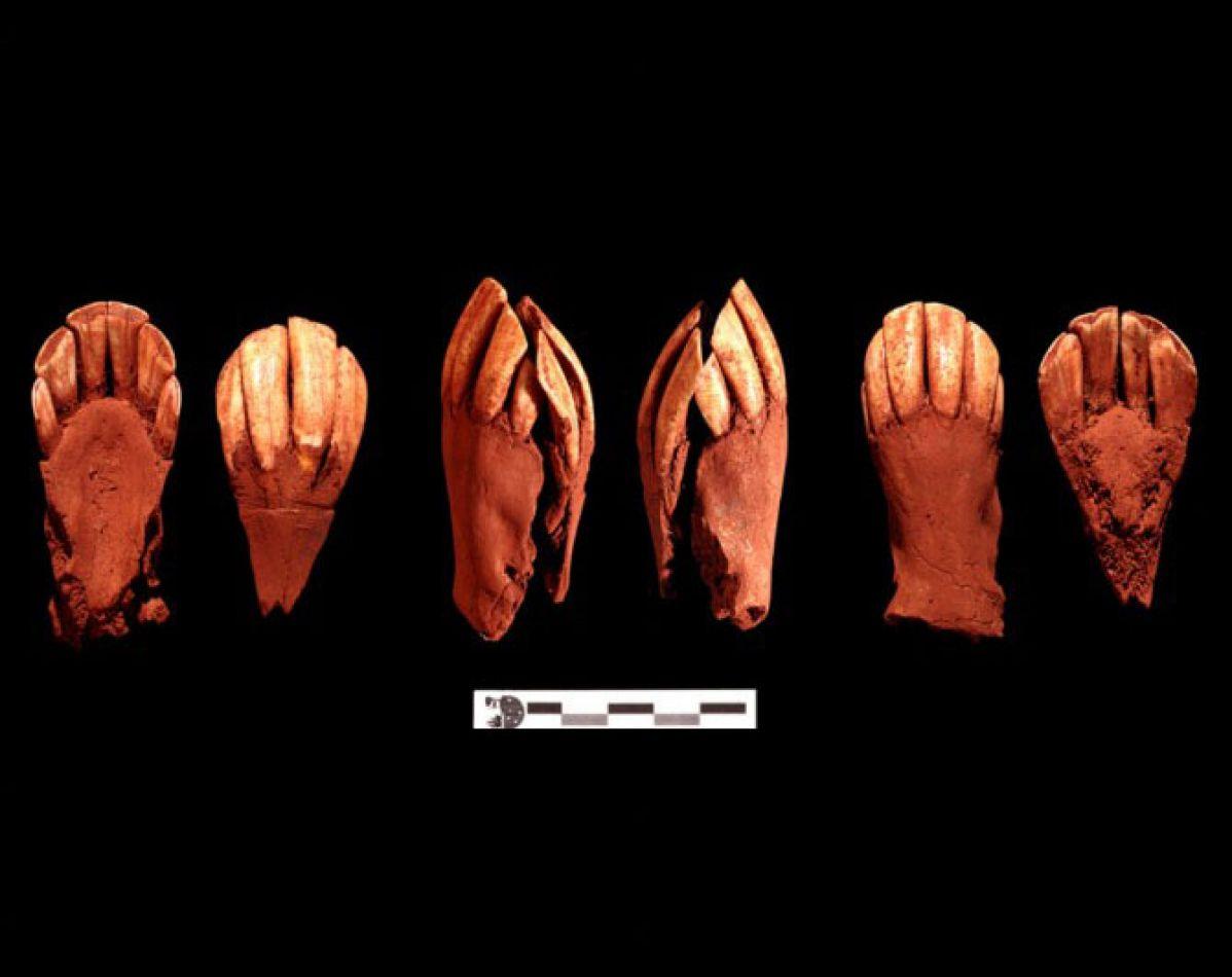 Pares mandibulares de guanaco adulto que formaban parte del ajuar singular del enterramiento. (Fotos cedidas por Thierry Dupradou).