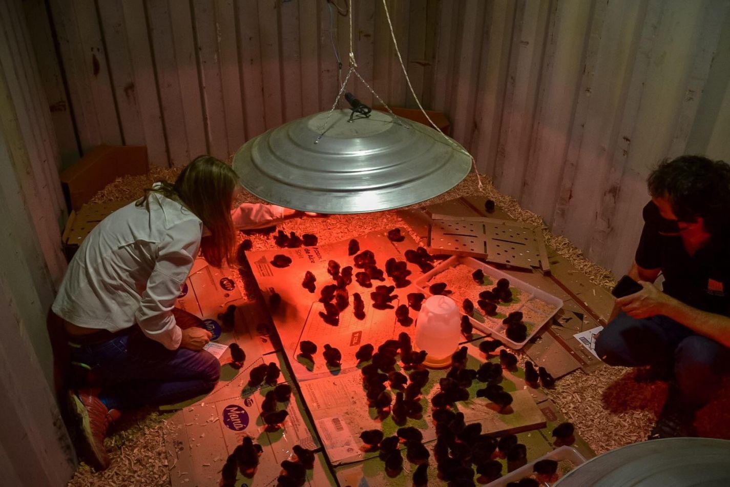 Tolhuin trabaja con la primera camada de gallinas ponedoras.