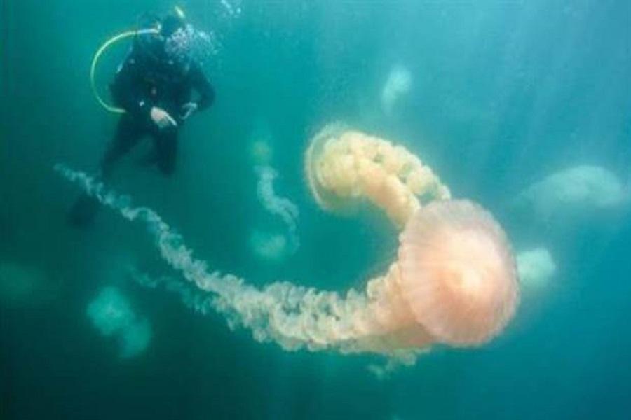 Aparecen medusas gigantes en la costa de Puerto Madryn