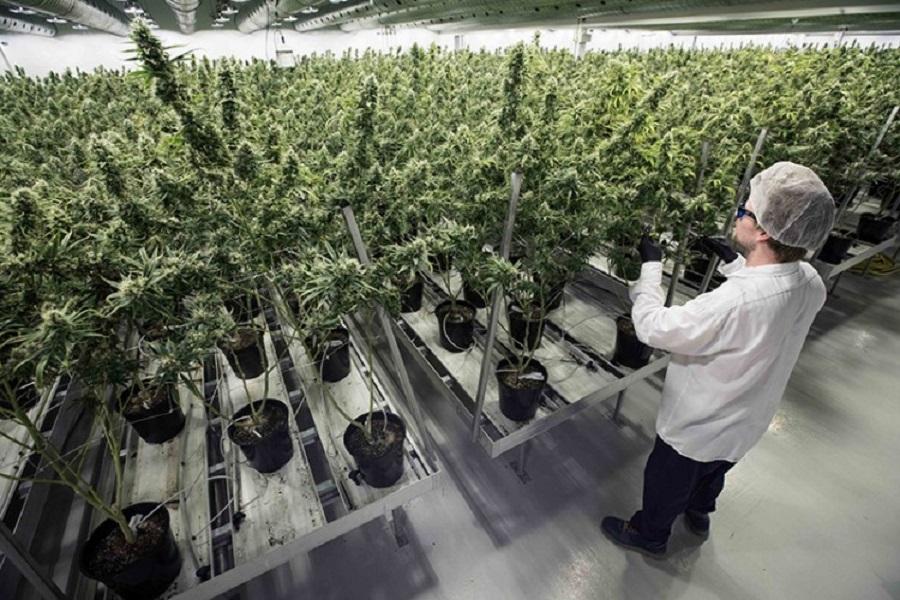 Se abre el mercado de la venta de Cannabis