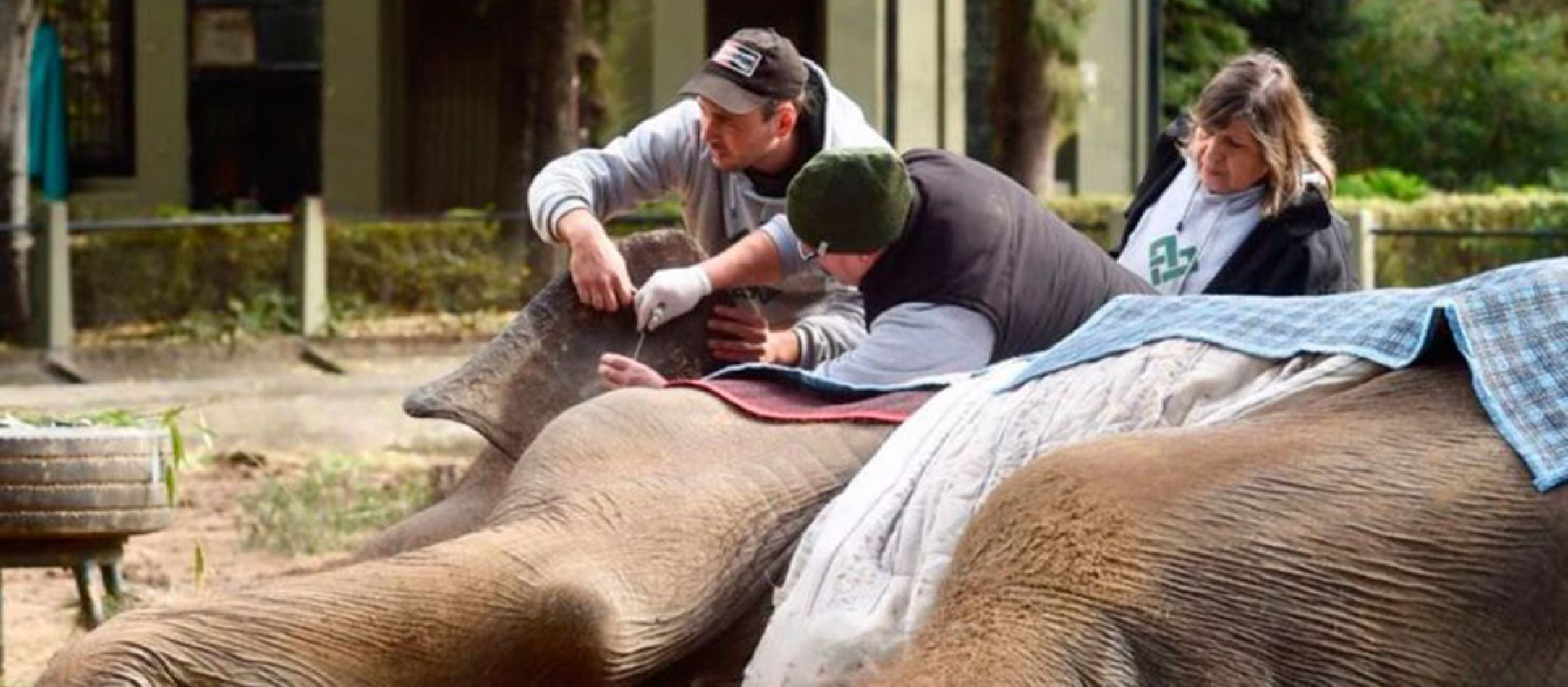 La elefanta Pelusa del zoológico de La Plata se encuentra en la etapa final de su vida