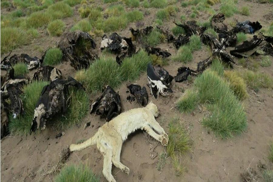 Hallan 34 cóndores muertos con signos de envenenamiento en Malargüe