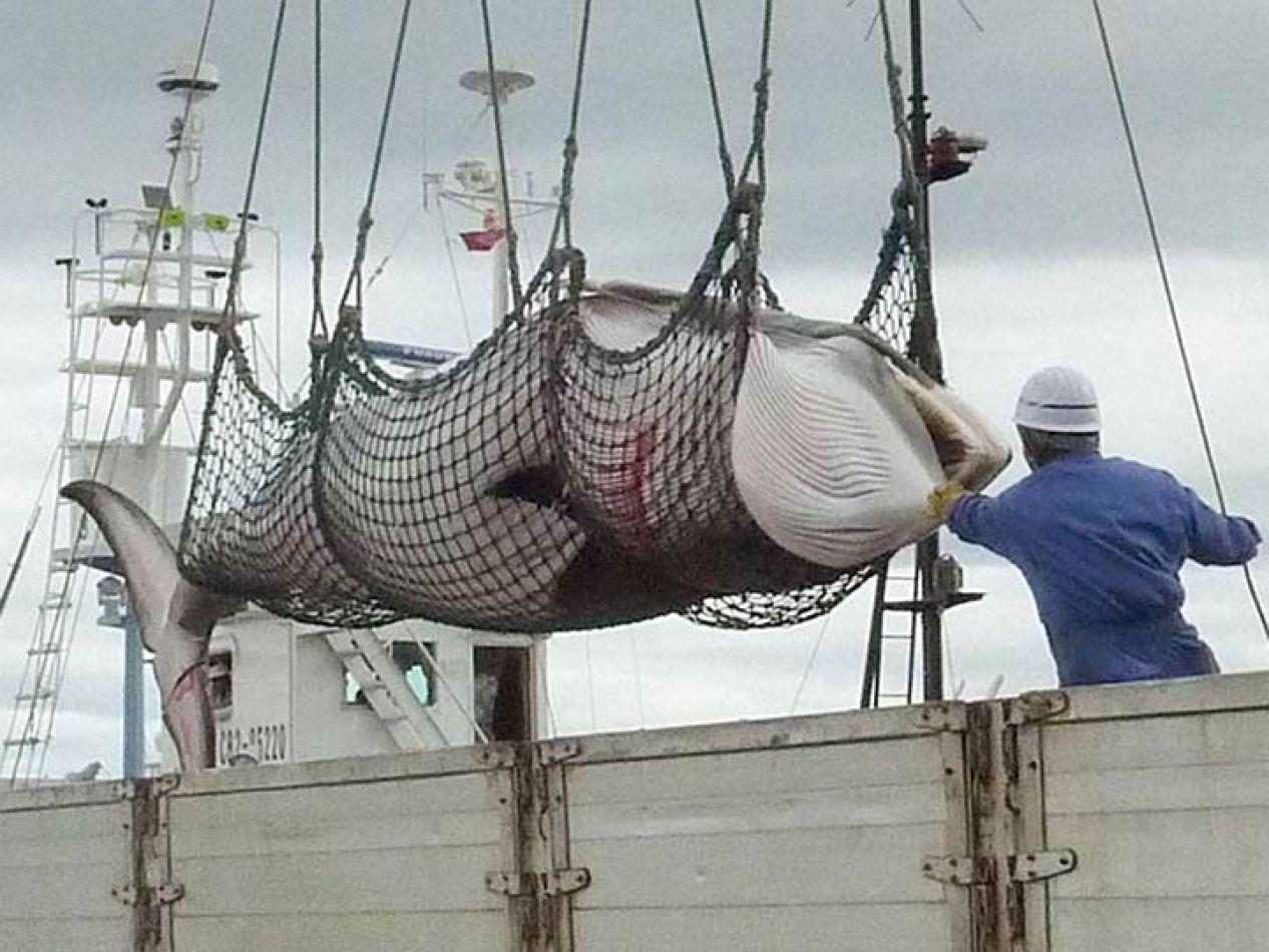 Barco Japones. Caza ilegal