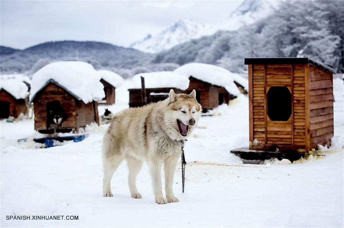 """Un husky siberiano caminando en el criadero """"Siberianos de Fuego"""", en cercanías a la ciudad de Ushuaia."""