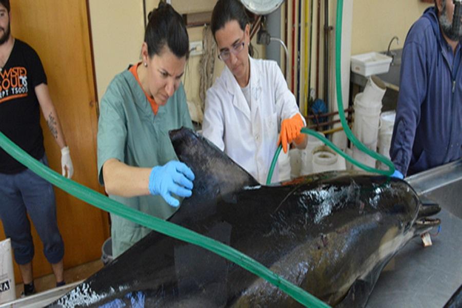 Investigan las causas del varamiento de delfines en Puerto Madryn