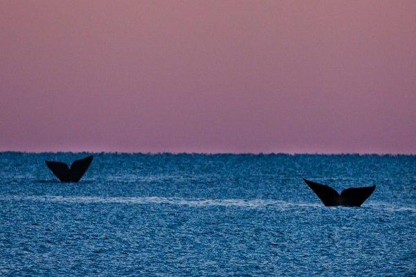 Llegan a Península Valdés las primeras ballenas de la temporada