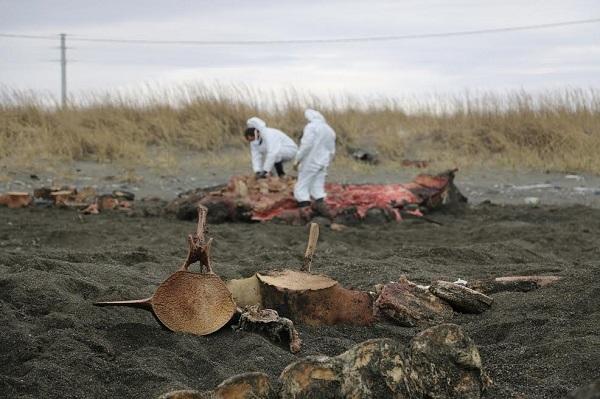 Convocan a voluntarios para recuperar los restos de la ballena hallada en 2016