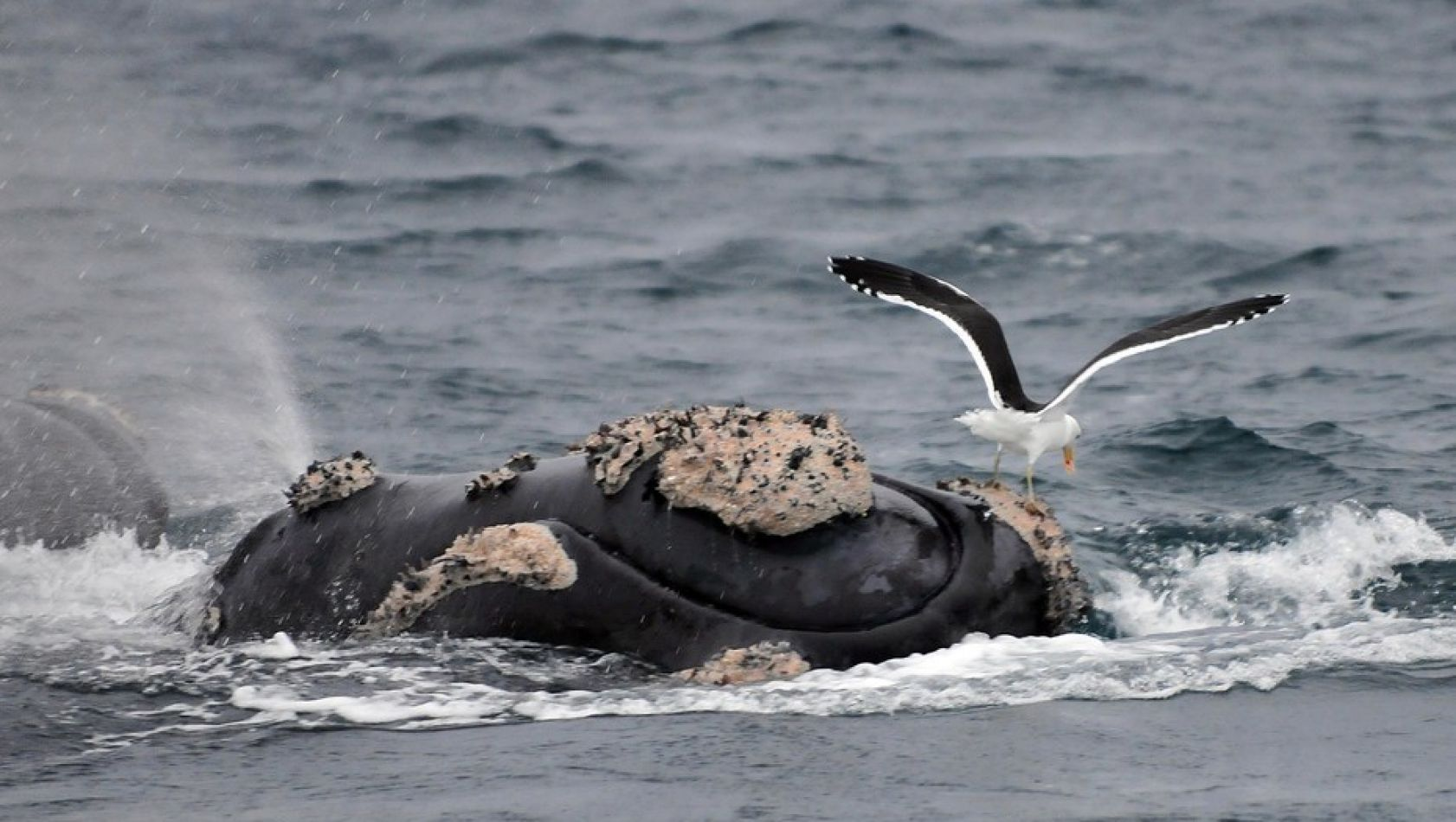 Las gaviotas cocineras pican el lomo de las ballenas para comer la grasa viva. Eso genera cambios peligrosos en los hábitos de la especie.