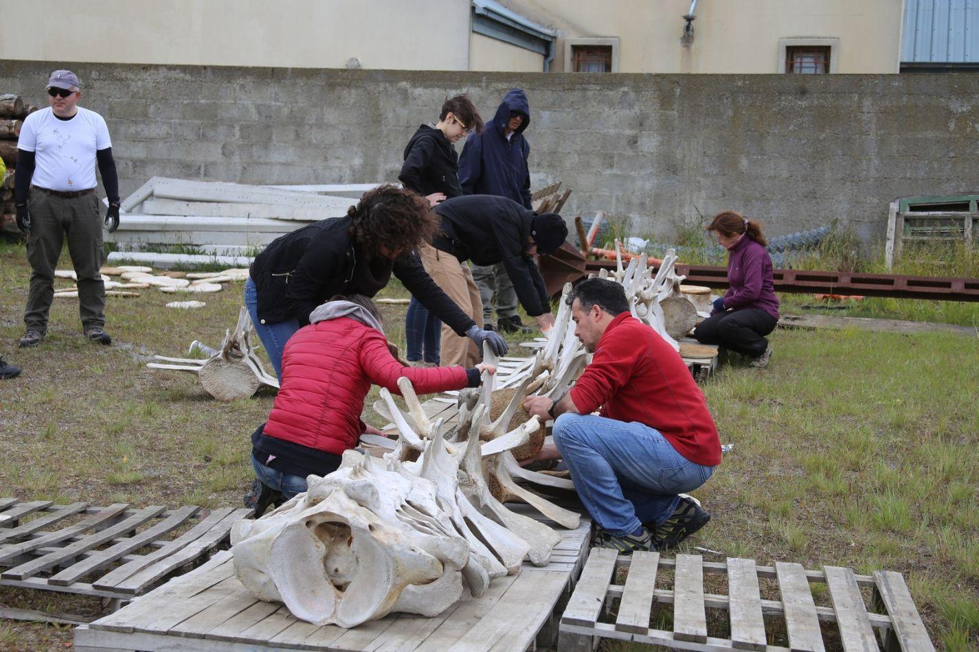 Ensalmble de los restos de la ballena fín