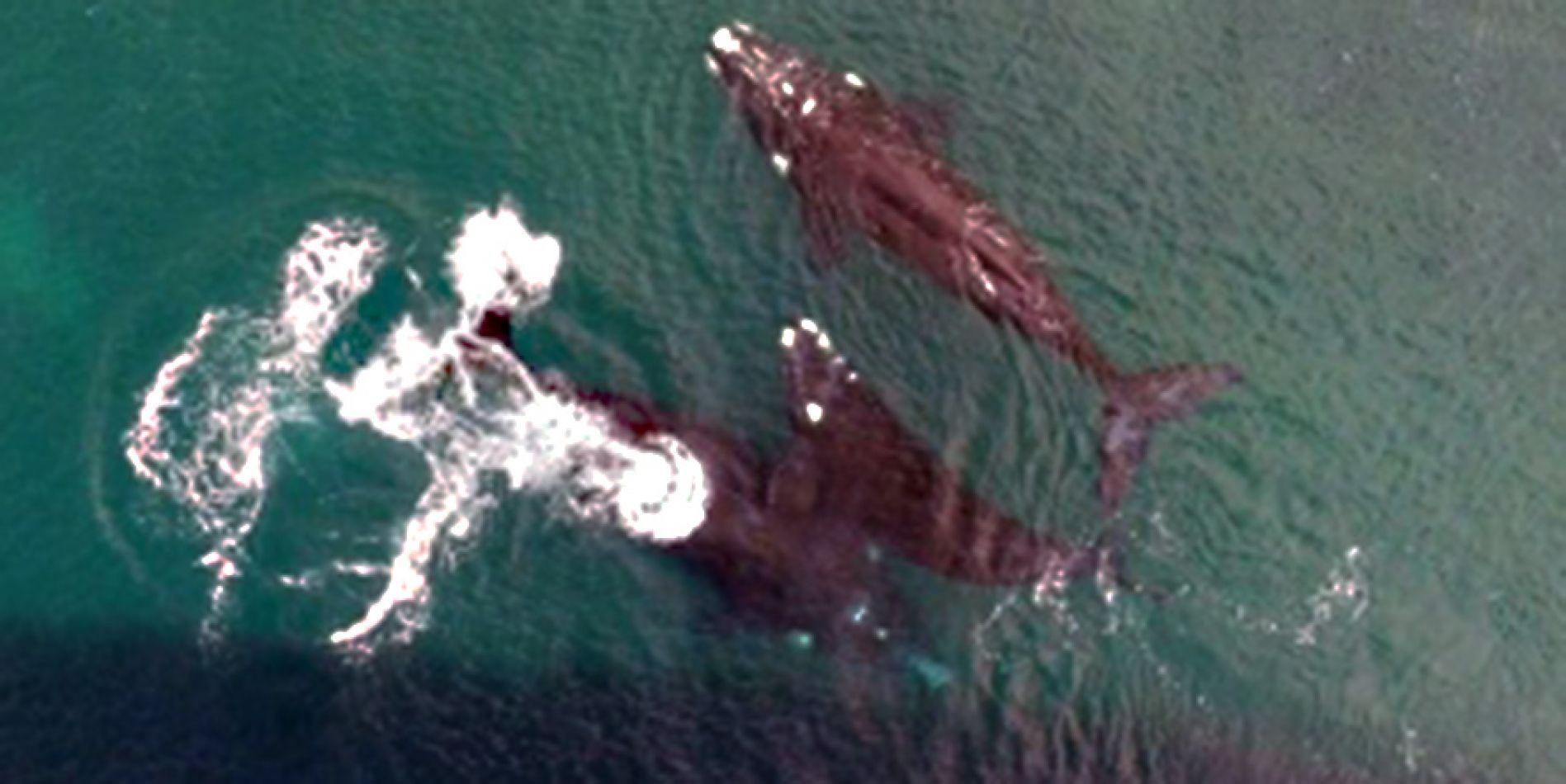 Divisan las primeras 63 ballenas recién nacidas en el Golfo Nuevo