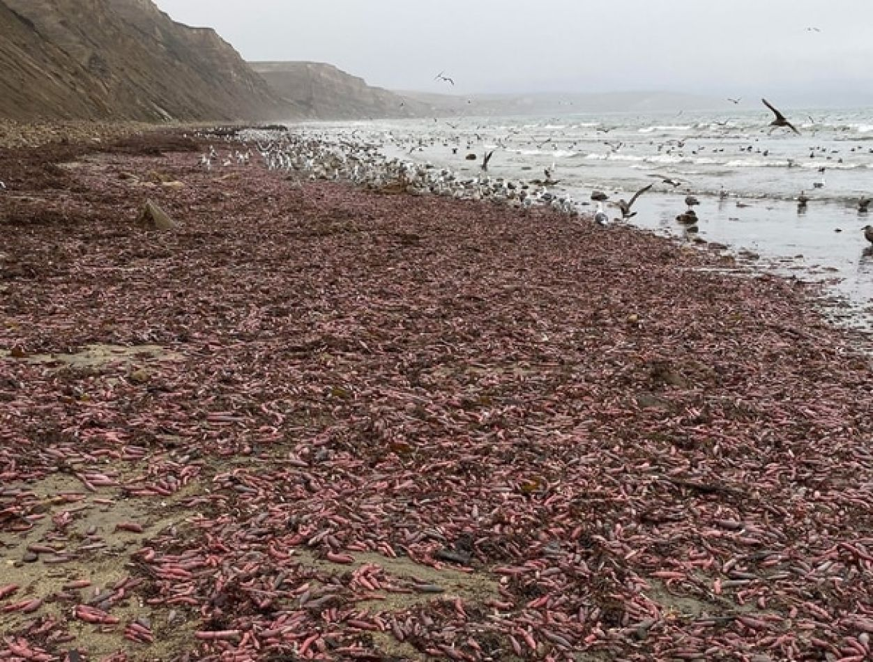 """Miles de """"peces pene"""" encallaron en una playa de California"""