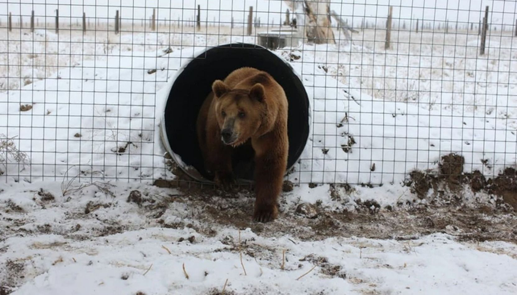 Emotiva liberación de los diez osos pardos del zoológico de Mendoza