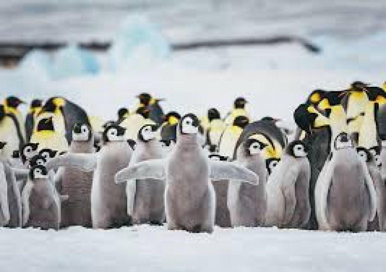 La cifra de pingüinos barbijo cae hasta un 77% en la Antártida en 50 años