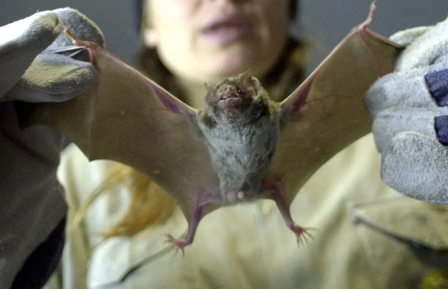 Vuelve la venta de murciélagos a los mercados chinos.
