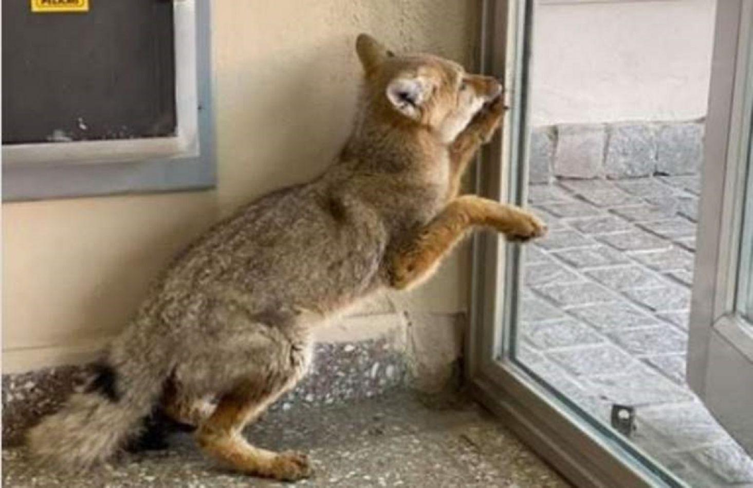 Por calles vacías se registran animales silvestres en diversos sectores de la ciudad