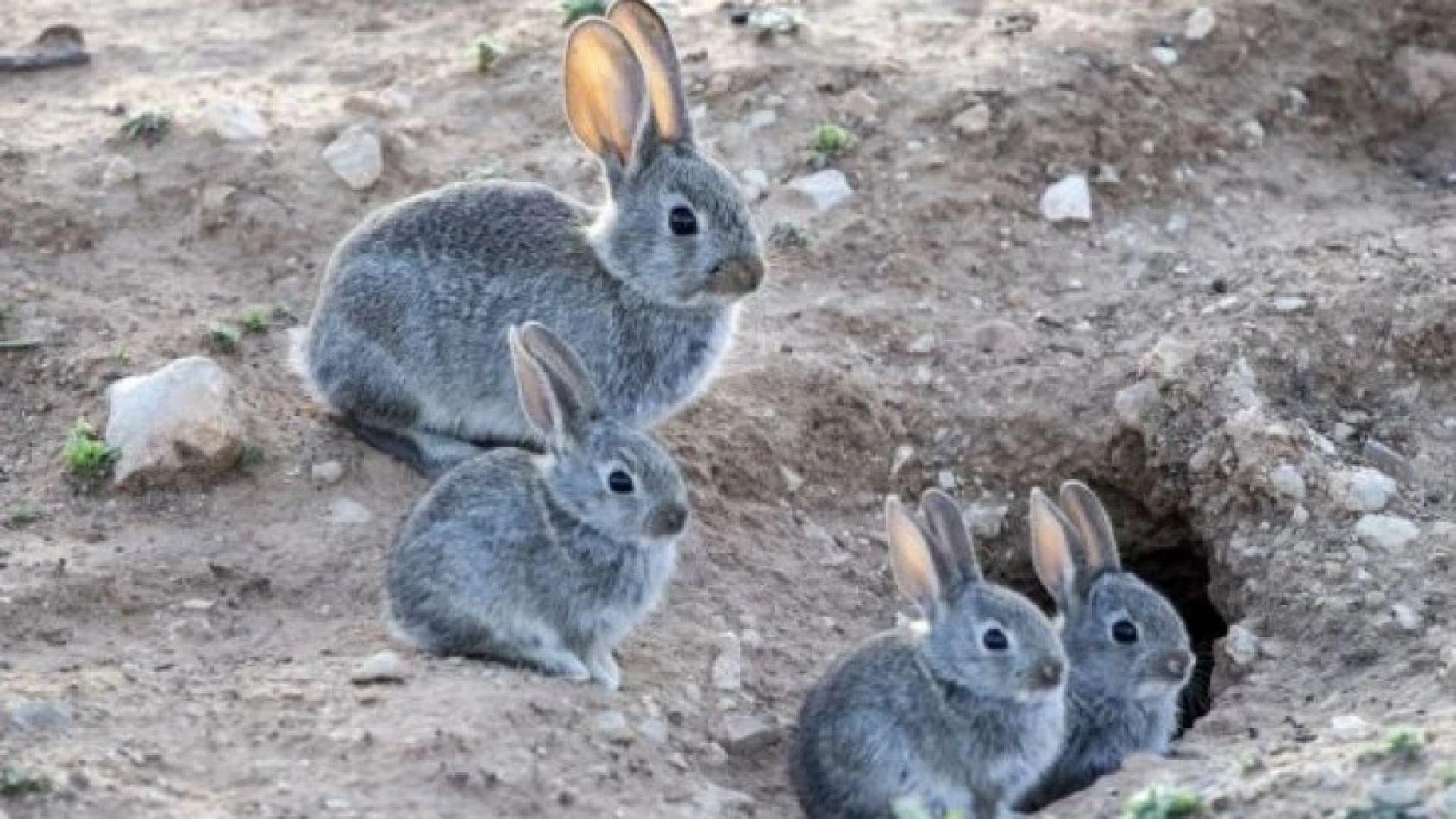 Eliminarán conejos con gas fosfina