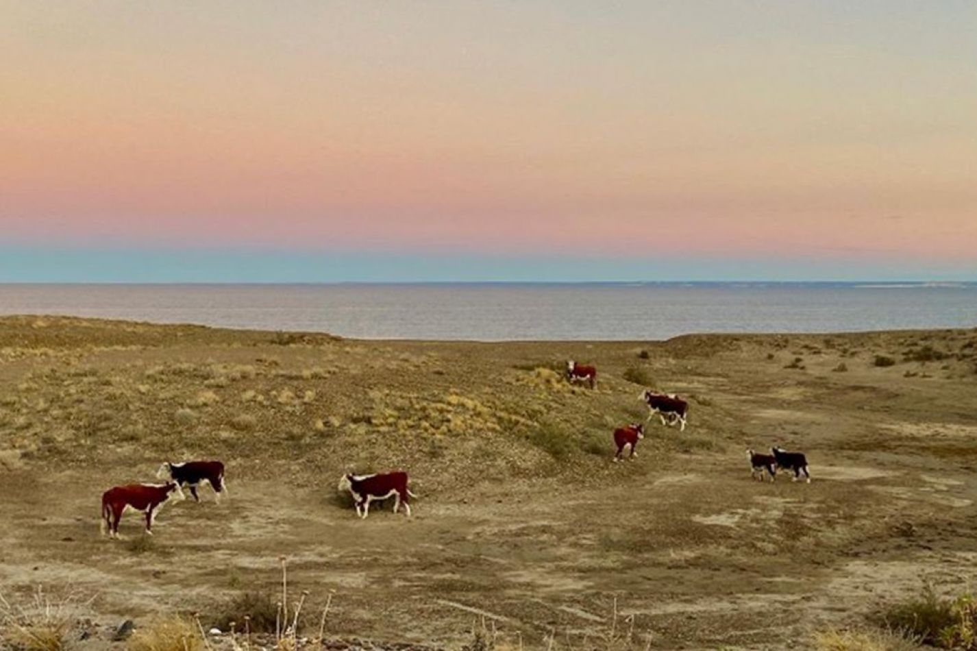 Vacas veranean en las playas vacías de El Doradillo