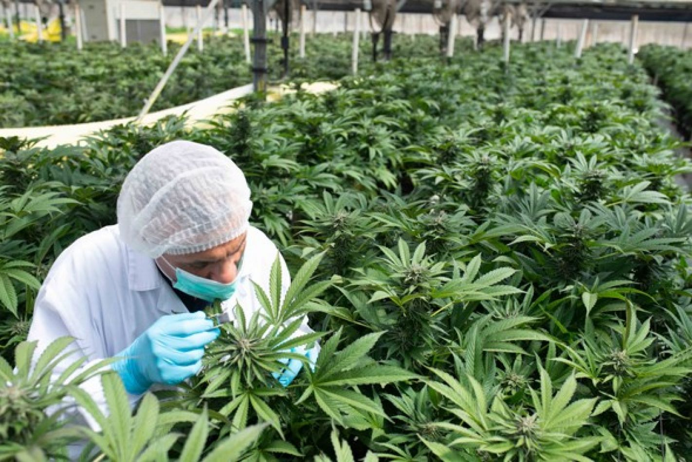 Posibilidades. La producción de cannabis requiere de un serio debate, reclaman desde la cámara del sector, para la regulación de la actividad.