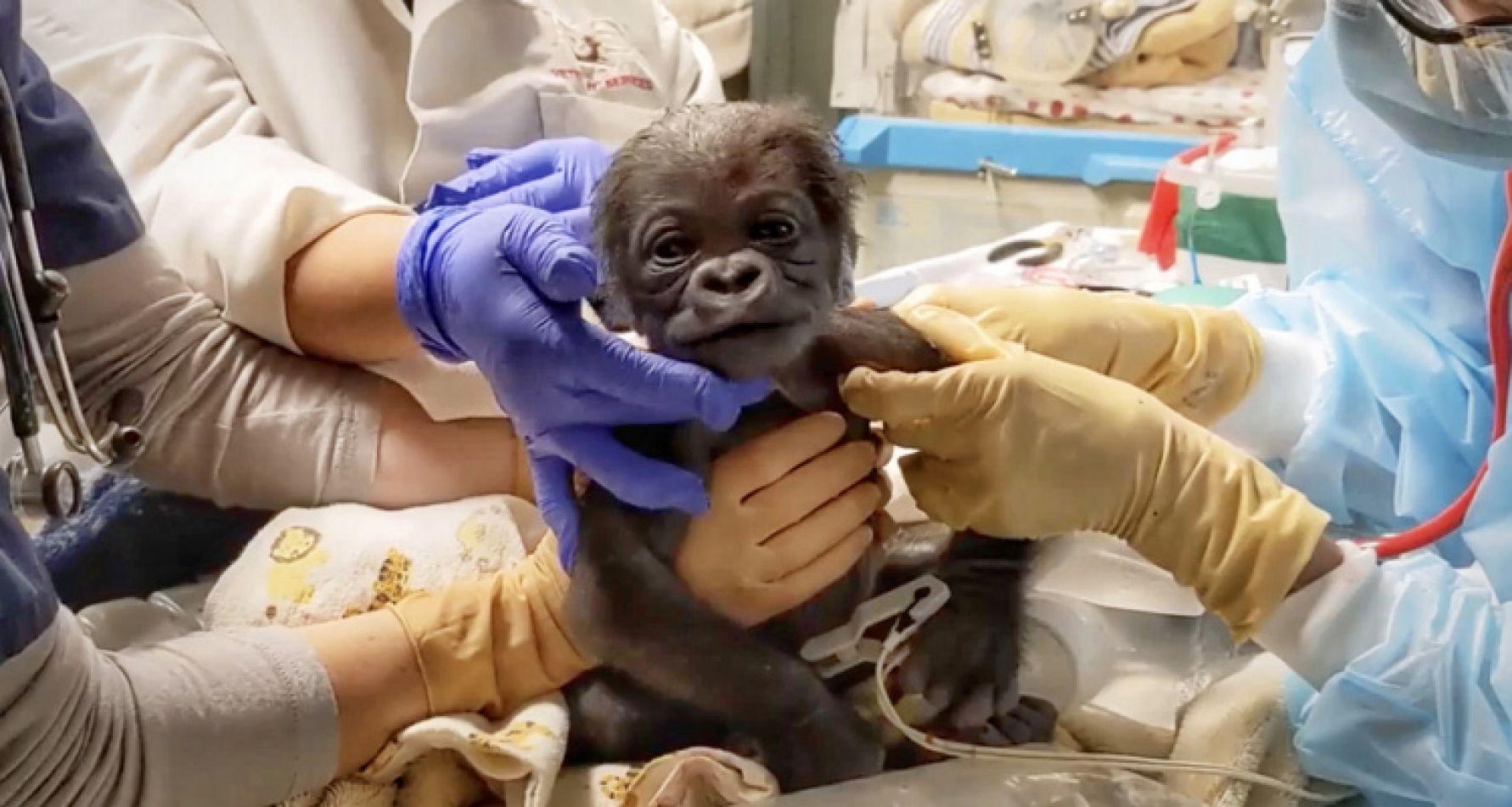 Nace el primer bebé gorila en el zoológico de Boston