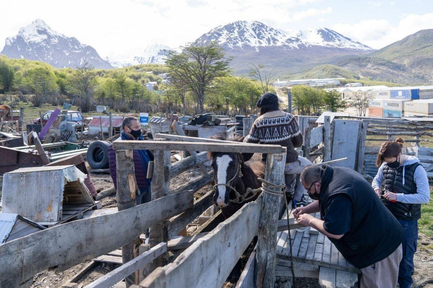 La Municipalidad de Ushuaia inició el chipeo de caballos