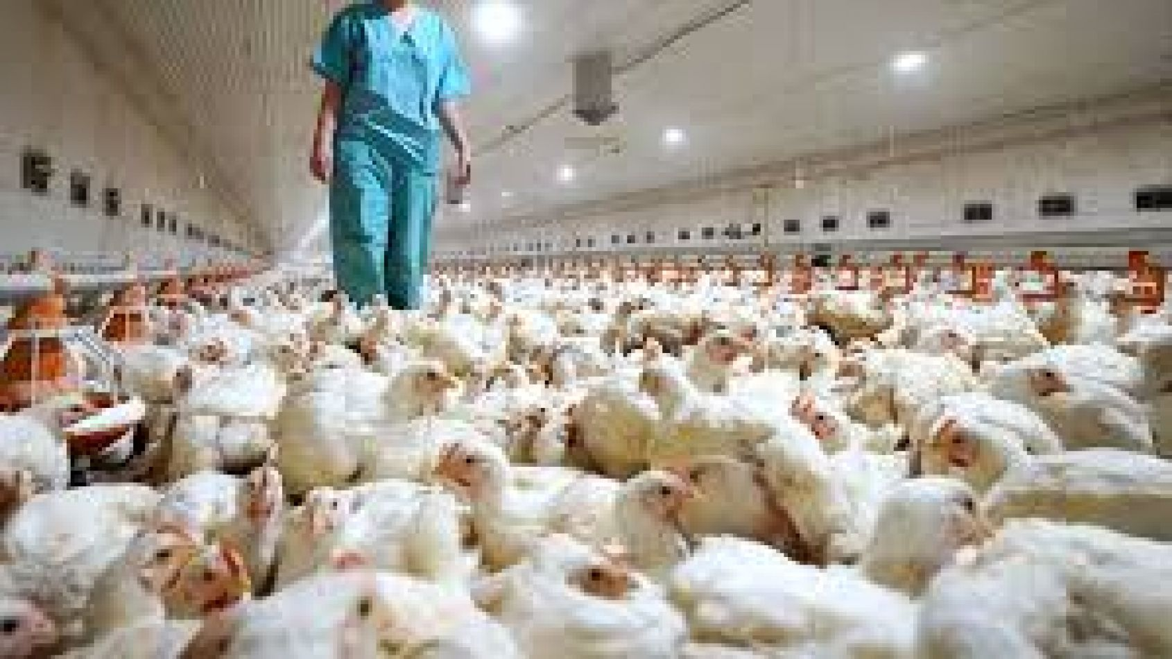 Detectaron el primer caso de transmisión de gripe aviar a humanos