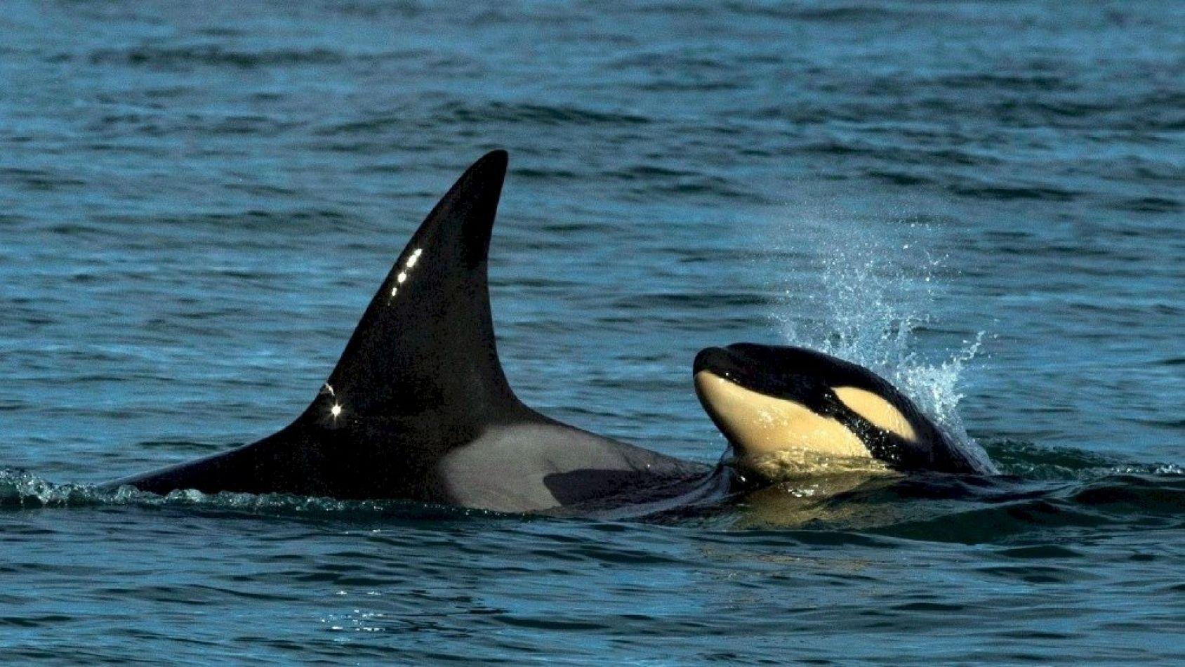 Avistan por primera vez una cría de orcas frente a las costas de Río Negro