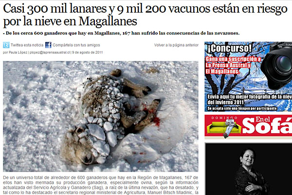 La nieve hace estragos en el ganado chileno.